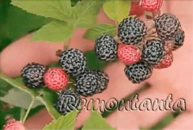Черная малина кумберленд: посадка и уход, описание сорта, обрезка