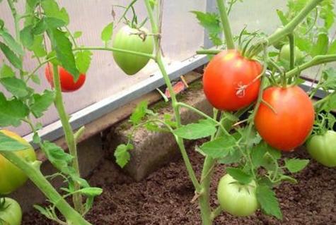 Томат ультраскороспелый: особенности сорта и 3 правила выращивания