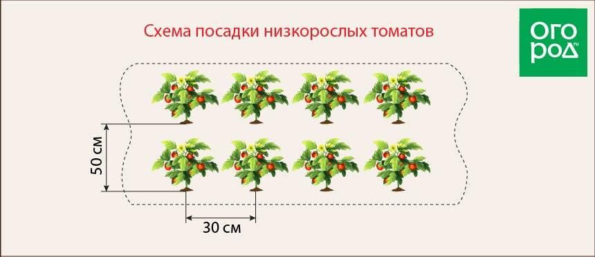 Посадка помидор в теплице: какое расстояние между помидорами должно быть, схема, фото