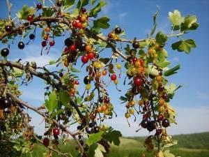 Смородина дикая: черенок, черная, фото и описание, где растет, название, виды, оранжевая, репис, правила выращивания
