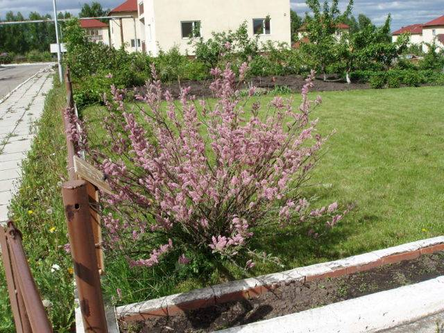 Кустарниковый тамарикс садовый: посадка и уход в открытом грунте на улице