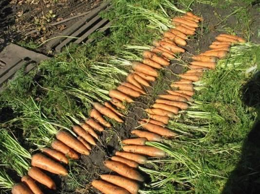Сладкий, нежный сорт моркови алтайская лакомка