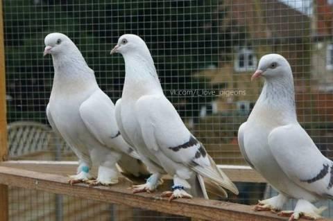 Особенности голубей такла