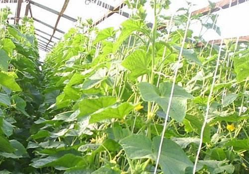 Агротехника выращивания огурцов в условиях теплицы