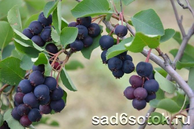 Ирга канадская – красивое растение с целебными плодами. ирга канадская: описание и советы по уходу ирга смоуки описание