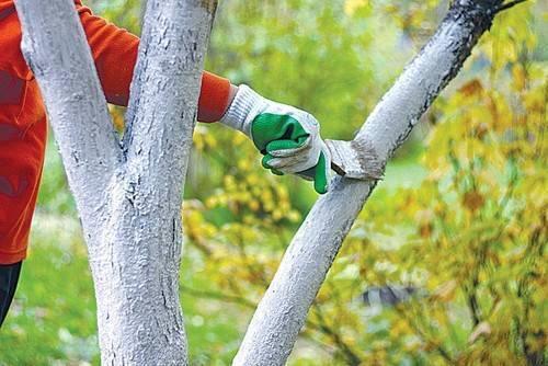 Лишайник и мох на яблони — как избавиться?