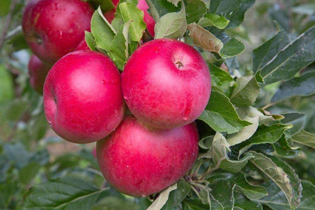Сорт яблок рождественский: описание и фото, особенности выращивания и ухода, устойчивость к болезням