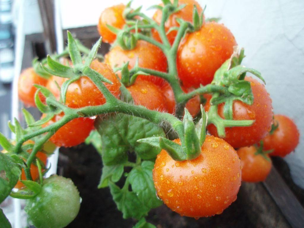 Помидоры черри: сорта, описание видов томатов