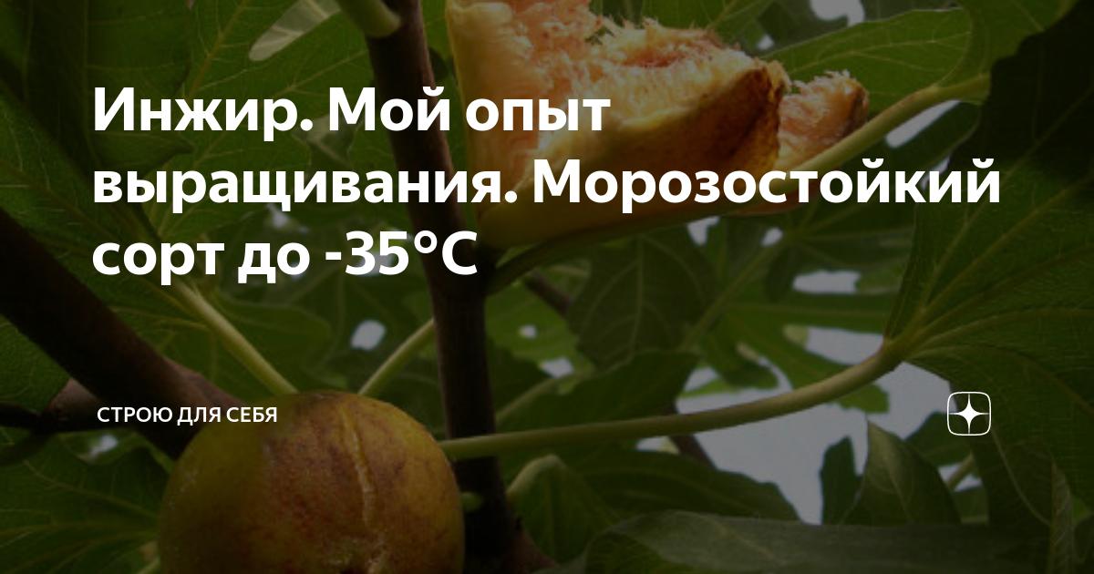 Инжир: описание сортов плодового дерева