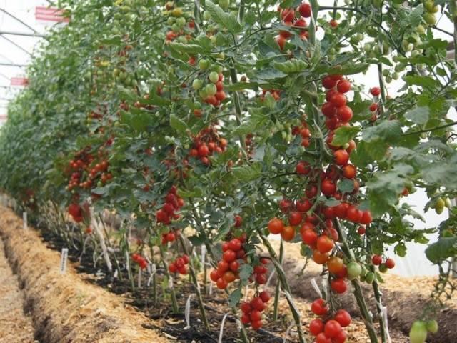 Томат президент f1 отзывы фото урожайность