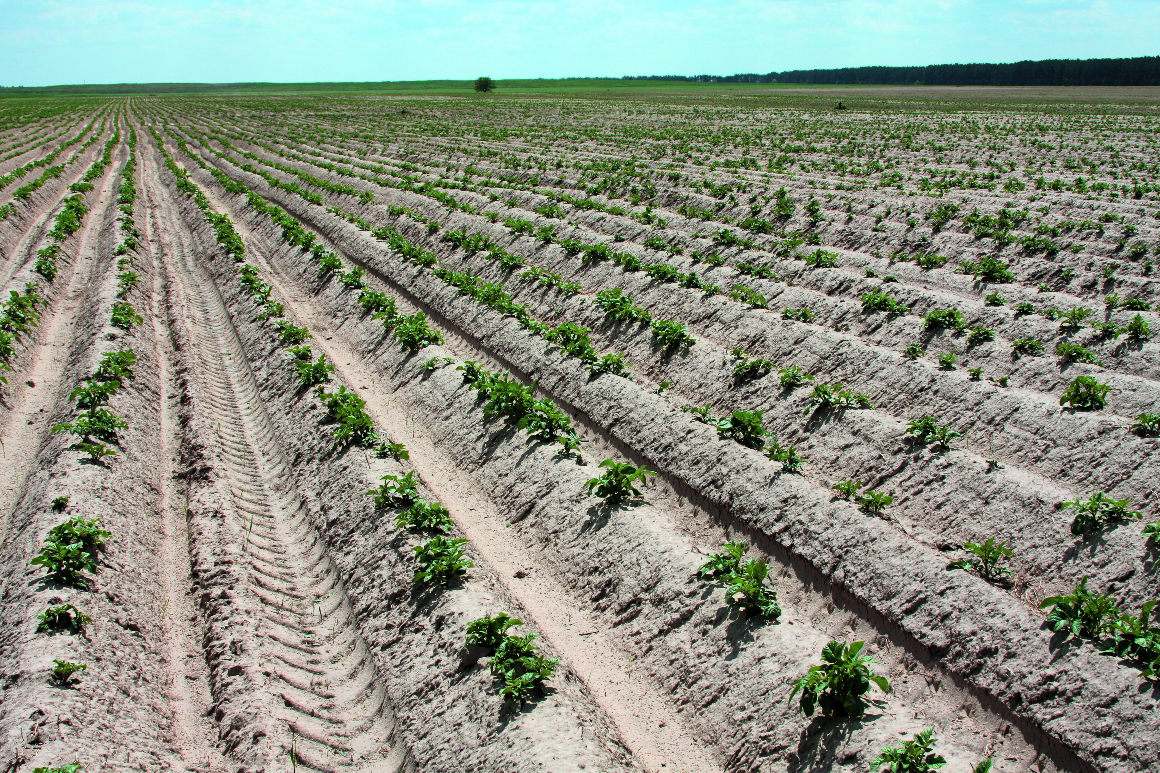 Сроки и время посадки картофеля: выращивание ранней урожайной картошки