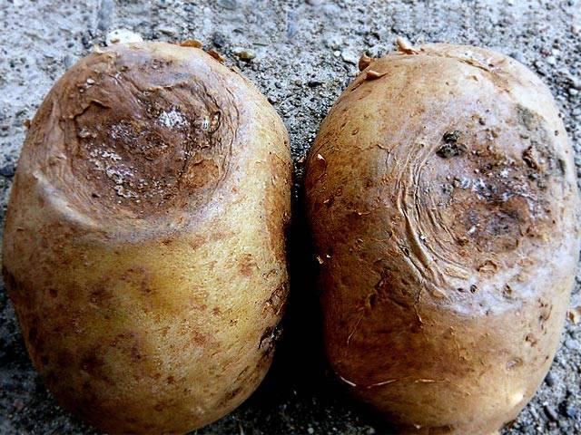 Болезни картофеля: фото, описание и лечение