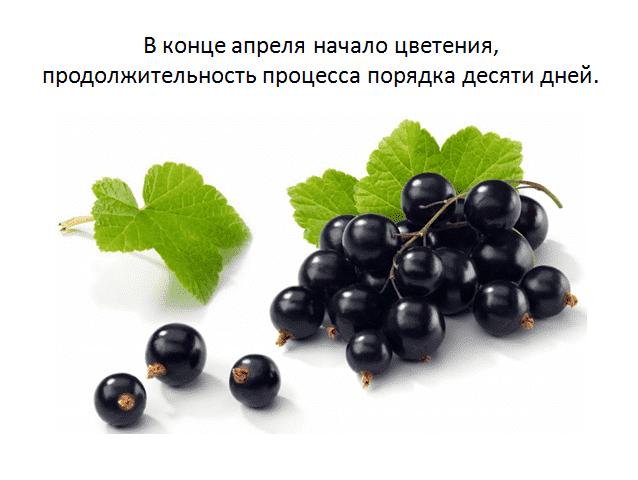 Смородина добрыня: описание и характеристика сорта, посадка и уход, отзывы с фото