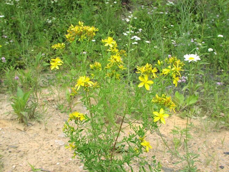 Лечебные свойства бессмертника песчаного, инструкция по применению травы, противопоказания