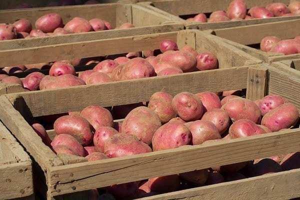Картофель ароза описание сорта фото