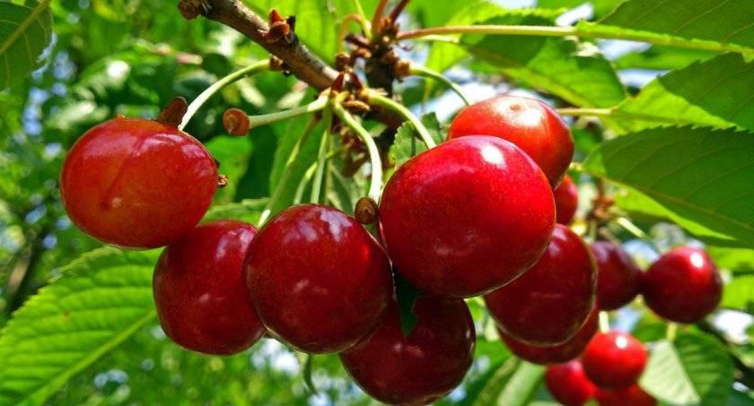 Обрезка вишни и черешни осенью – советы для начинающих в картинках