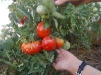 Штамбовые сорта томатов: самые урожайные для открытого грунта и теплиц