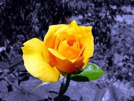Как отличить розу от шиповника по листьям и побегам. почему роза превращается в шиповник и что делать? как выбрать настоящий морщинистый шиповник