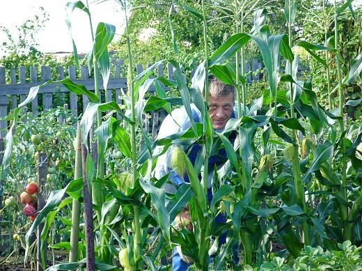 Описание и лечение болезней и вредителей кукурузы, меры борьбы с ними