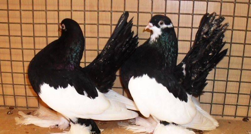 Обзор статных голубей, разновидности, тонкости разведения, фото и видео