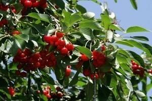 Вишня лебедянская: описание сорта и его внешних признаков, фото и свойства плодов, особенности ухода