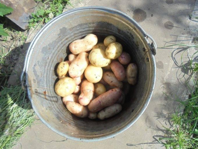 Когда копать картофель на хранение, чтобы сохранить ее на всю зиму. точные рекомендации. | красивый дом и сад
