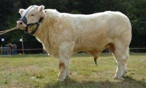 Описание породы коров шароле