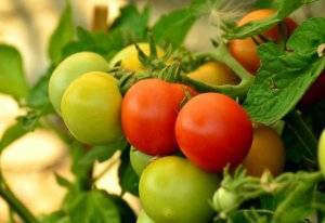 Ранний томат дубрава: характеристика и описание сорта