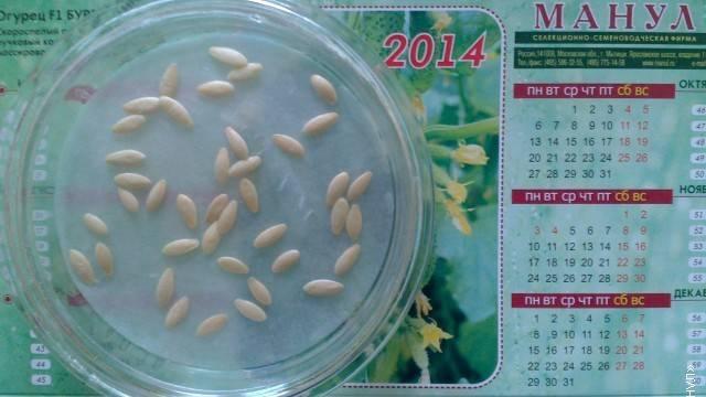 Как проращивать семена огурцов перед посадкой? перенимаем ценный опыт