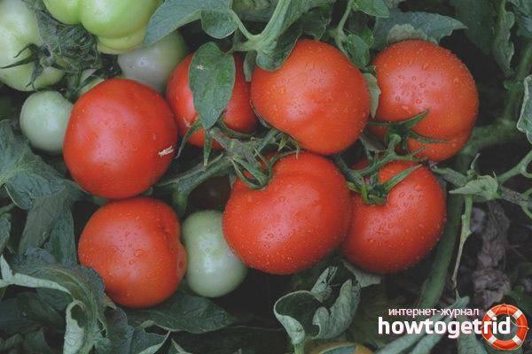 Томат палка: характеристика и описание сорта, отзывы, фото, урожайность