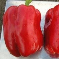 Перец какаду f1 — описание и характеристика сорта