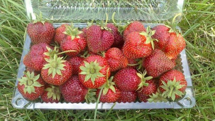 Клубника для выращивания в сибири: предложения селекционеров