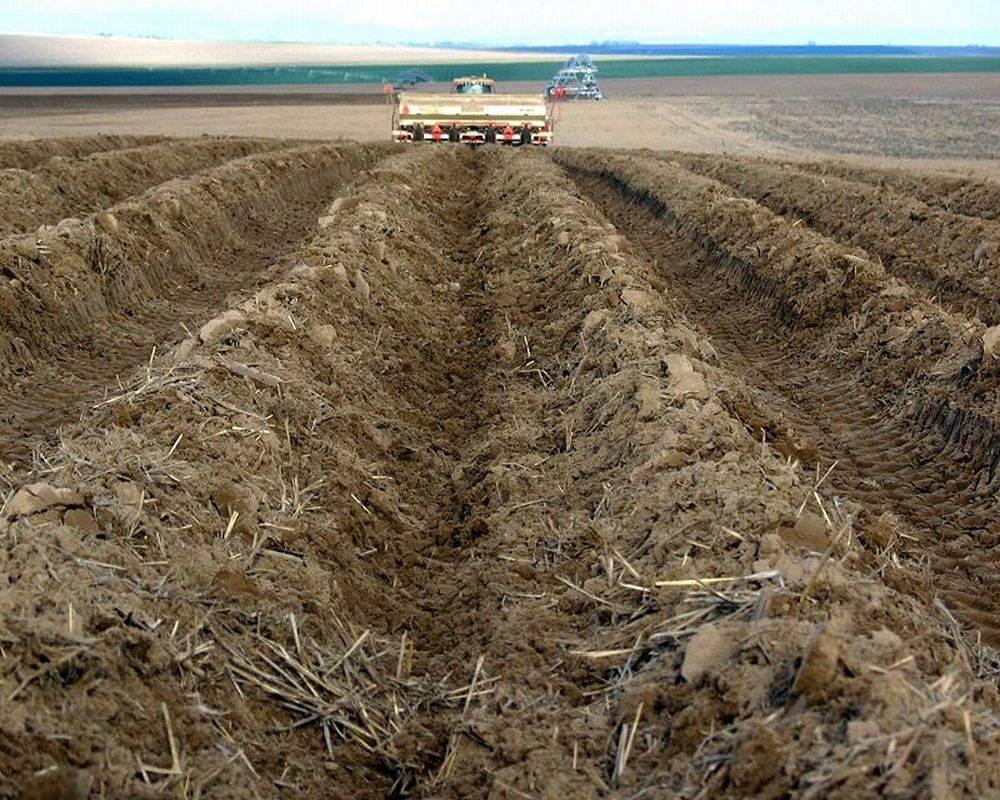 Посадка картофеля в гребни способствует увеличению урожая