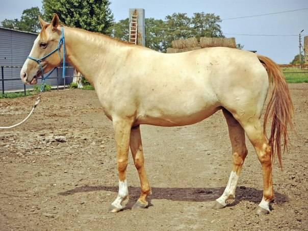Донская лошадь: описание породы, особенности разведения и ухода