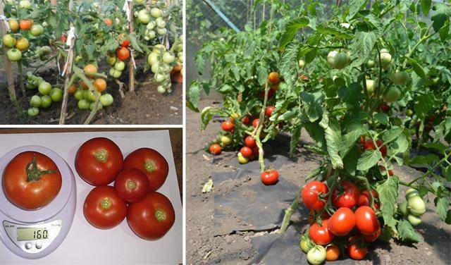 Томат катя: описание сорта помидоров, выращивание и уход