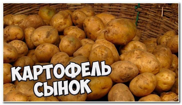 """Картофель """"сынок"""": описание сорта, фото, отзывы о культуре"""