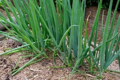 Посев лука-батуна на рассаду и в открытый грунт: первый конкурент репчатого!