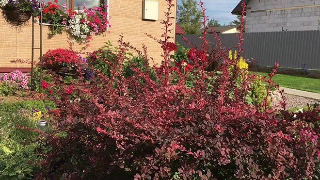 Растения для сада: барбарис сорта оранж рокет