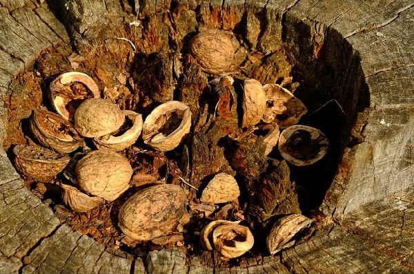 Рецепты народной медицины на грецких орехах: применение перегородок, листьев, скорлупы и ядер при изготовлении лекарств