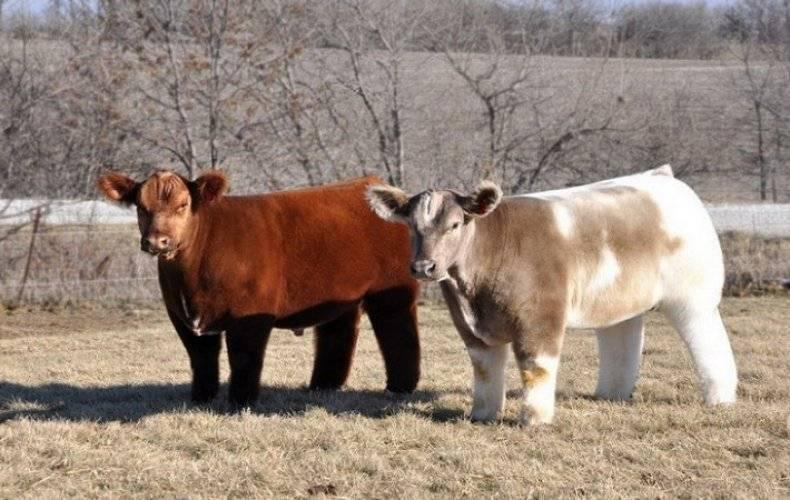 Корова сломала рог: что делать, как оказать первую помощь