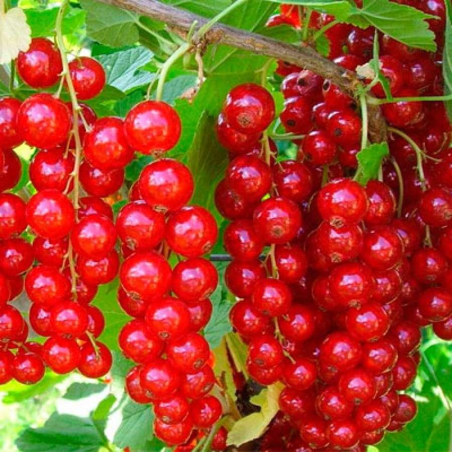 Красная смородина алтайская рубиновая: характеристики сорта и особенности выращивания
