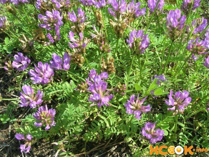 Астрагал шерстистоцветковый, лечебные свойства - народная медицина | природушка.ру
