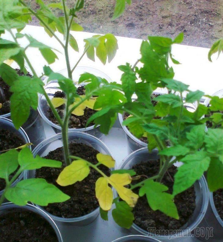 Почему желтеет рассада томатов на подоконнике