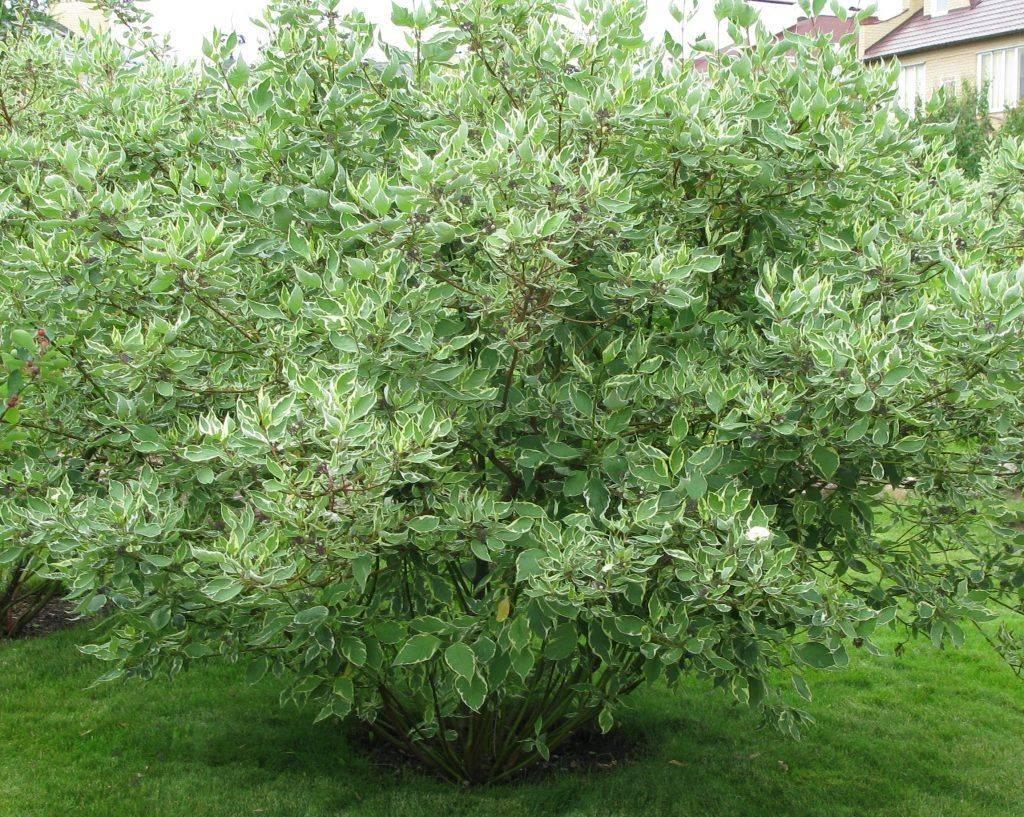 Дерен пестролистный: посадка и уход, выращивание, размножение
