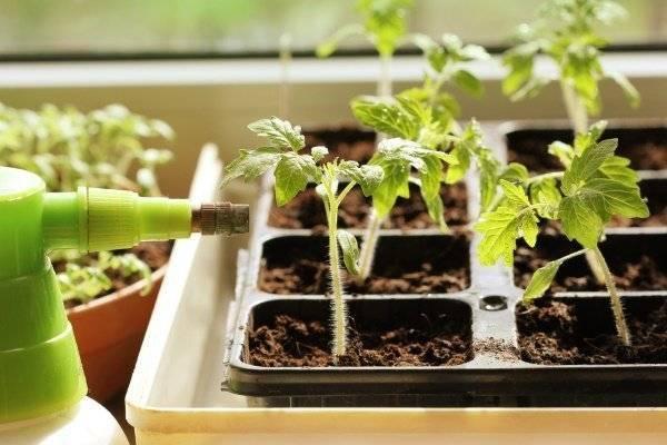Подкормка рассады томатов народными средствами: какие удобрения необходимы, чтоб помидоры были толстенькие, а также рекомендации по выращиванию взрослых кустов