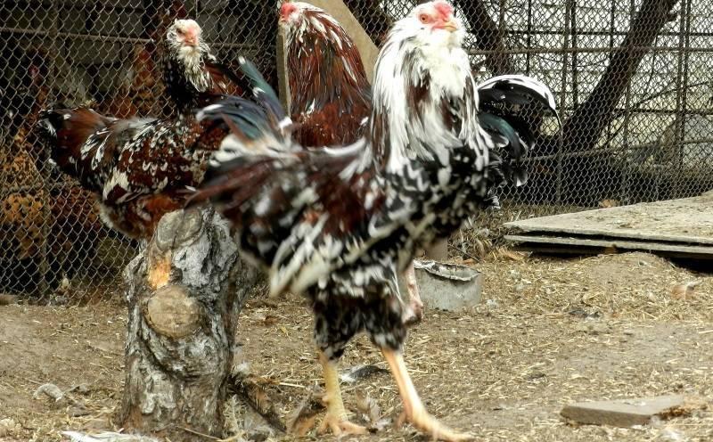 Орловская (порода кур)