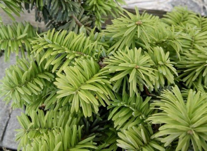 Пихта бальзамическая нана: описание, фото, посадка, уход, выращивание, размножение