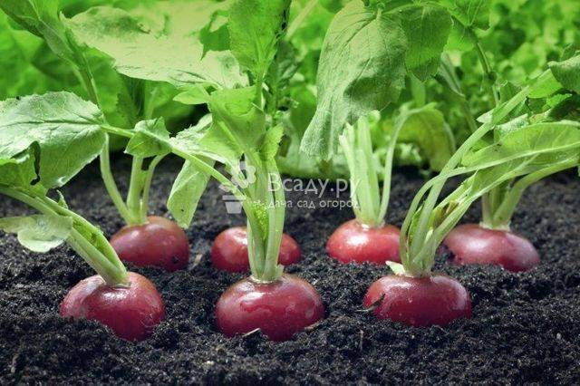 Чем подкармливать редиску после всходов для быстрого роста корнеплода: чем удобрить землю в открытом грунте, в том числе весной при посадке, для лучшего урожая?