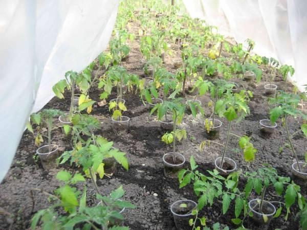 Почему желтеют листья рассады помидоров