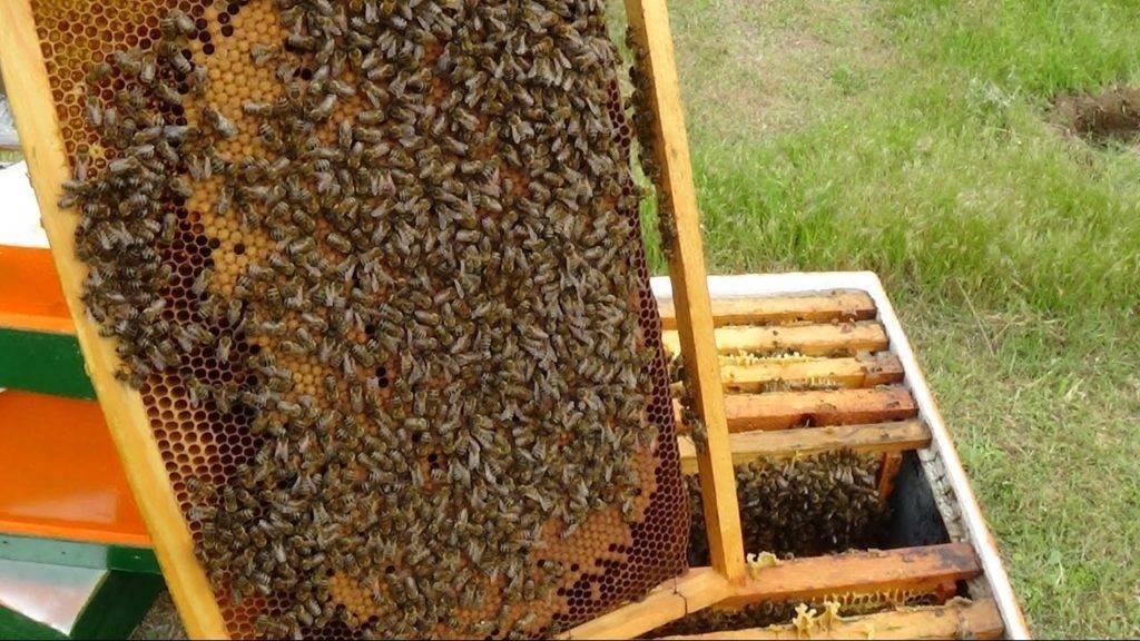Как заменить пчеломатку в пчелиной семье?